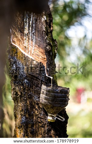Tapping sap from the rubber tree in Malacca, Malaysia.