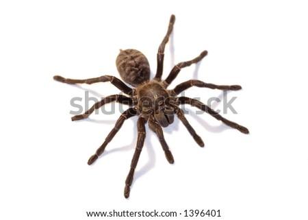 Tarantul - stock photo