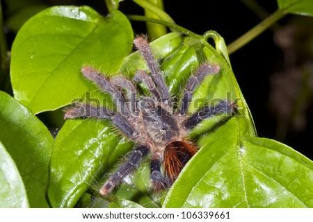 Tarantula hiding under a  leaf in the rainforest understory, Ecuador - stock photo
