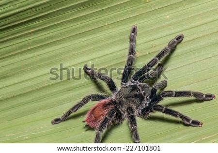 Tarantula in the Amazon Jungle, Iquitos, peru - stock photo