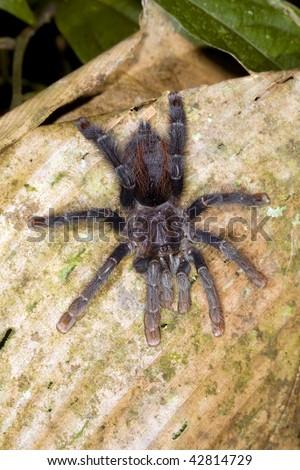 Tarantula  in the Ecuadorian Amazon - stock photo