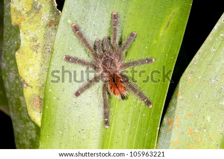 Tarantula on a bromeliad leaf in the rainforest understory, Ecuador - stock photo