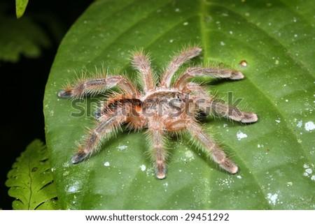Tarantula on a leaf at night in the rainforest, Ecuador - stock photo