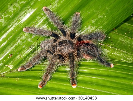 Tarantula on a leaf in the Peruvian Amazon - stock photo