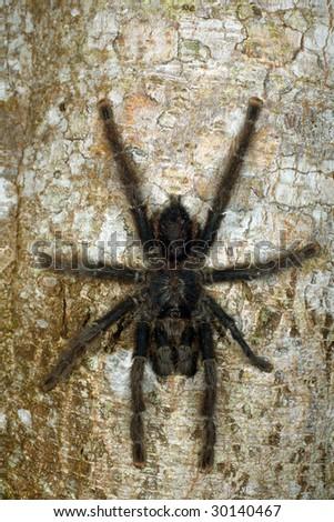 Tarantula on a tree trunk in the Peruvian Amazon - stock photo