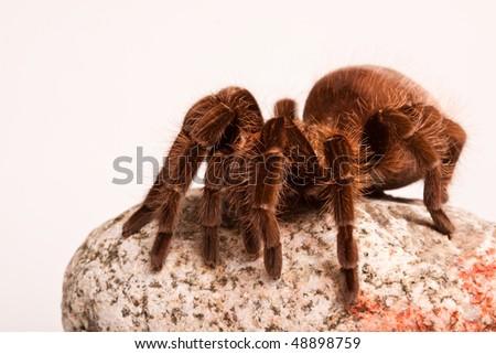 Tarantula on Rock - stock photo