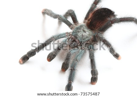 Tarantula spider Avicularia metallica isolated on white