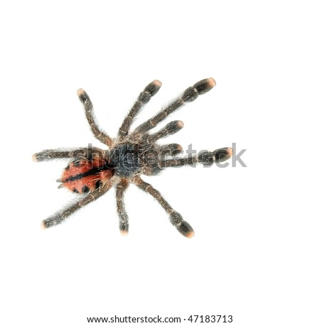 Tarantula spider isolated on white background
