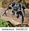 tarantula, zebra, cahuita, costa rica, central america big black spider - stock photo