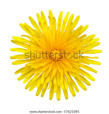 Taraxacum officinale -  Beautiful Yellow Dandelion Flower Isolated on White Background. Top view - stock photo