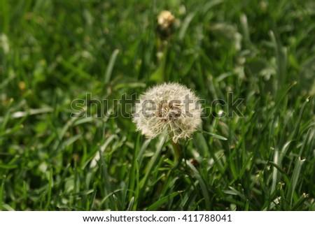 Taraxacum officinale. Dandelion flower between green grass. - stock photo