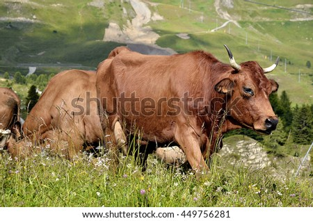 Tarine cow walking in the French Alps in Savoie department at La Plagne