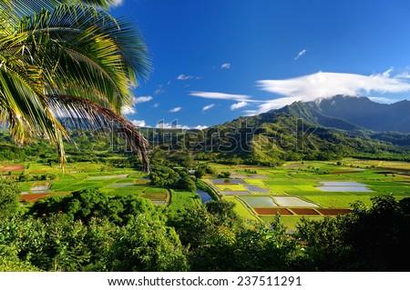 Taro fields in beautiful Hanalei Valley on Kauai island, Hawaii - stock photo