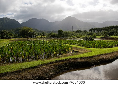 Taro fields in the Hanalei Valley on Kauai, Hawaii. - stock photo