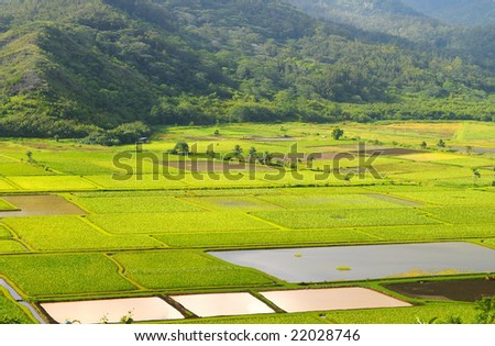 Taro fields in the Hanalei Valley on Kauai, Hawaii, with irrigation ponds