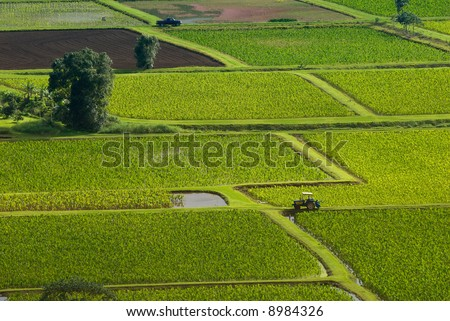 Taro fields near the historic Haraguchi Rice Mill on Kauai, Hawaii. The fields are illuminated by sunlight filtering through storm clouds. - stock photo