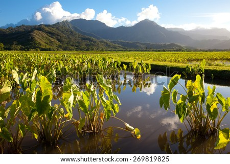 Taro plants with big broad, green leaves in standing water fields in late afternoon sunshine on the island Kauai. Hills and mountains in the background under a blue sky with a few clouds. Horizontal. - stock photo