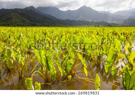 Taro plants with big broad, green leaves in standing water fields in late afternoon sunshine on the island of Kauai. Hills and mountains in the background under a blue sky with clouds. Horizontal.