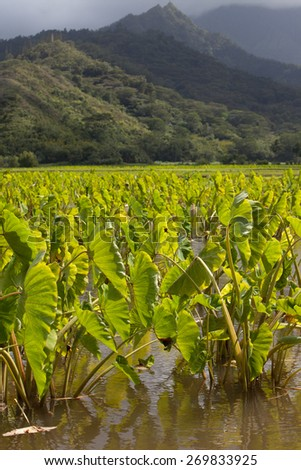 Taro plants with big broad, green leaves in standing water fields in late afternoon sunshine on the island of Kauai. Hills and mountains in the background under a blue sky with a few clouds. Vertical. - stock photo