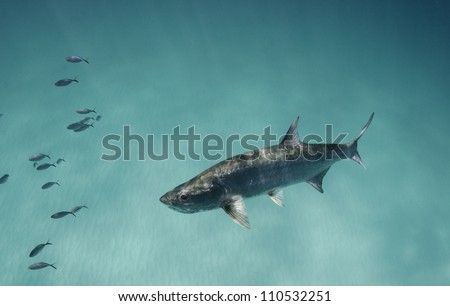 Tarpon - stock photo