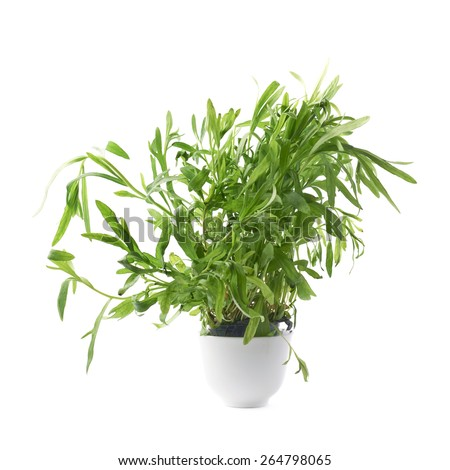 Tarragon Artemisia dracunculus perennial aromatic culinary herb in a small ceramic pot, isolated over the white background