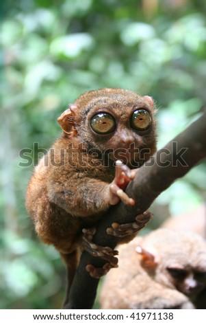 tarsier - stock photo