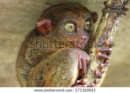 Tarsier, Bohol Island, Philippines - stock photo