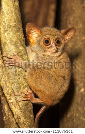 Tarsier in a tree in Tangkoko National Park, Borneo, Malaysia. - stock photo
