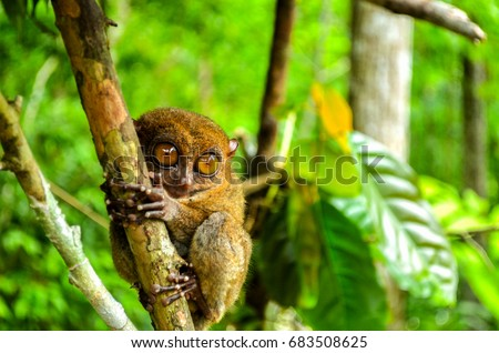 Tarsier is a nocturnal species and one of the smallest known primate that can be found in Bohol, Philippies.