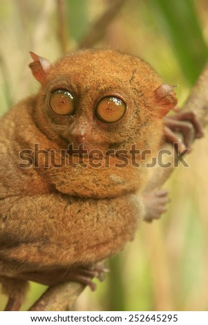 Tarsier sitting on a tree, Bohol island, Philippines, Southeast Asia