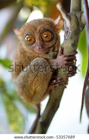Tarsier smallest primate in natural living environment