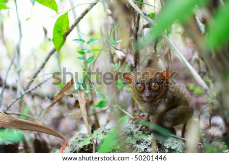 Tarsier, smallest primate, in natural living environment. Taken in Bohol, Philippines