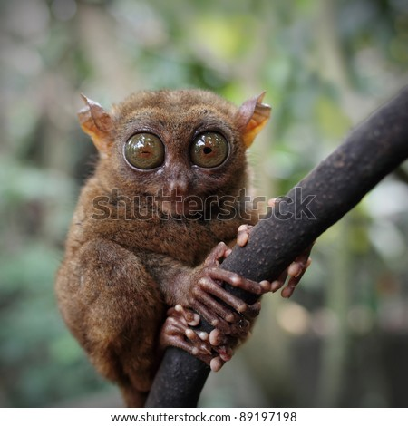 Tarsier (Tarsius Syrichta), Bohol, Philippines - stock photo