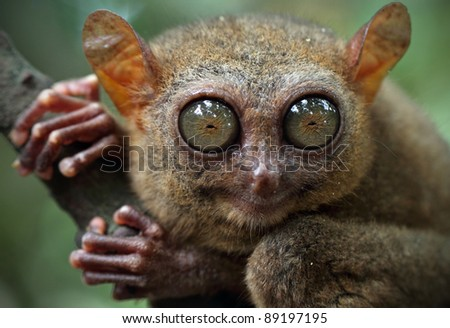 Tarsier (Tarsius Syrichta), Bohol, Philippines, closeup portrait, shallow DOF - stock photo
