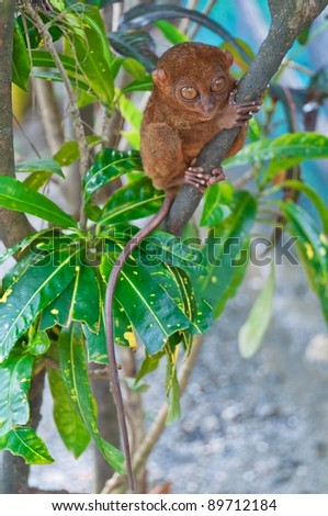 Tarsier - the smallest of all primates sitting on a branch - stock photo