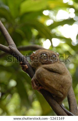 Tarsier the world's smallest monkey