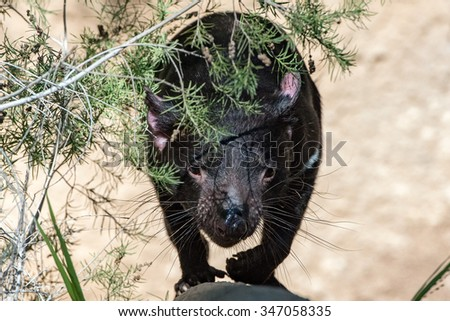 tasmania devil close up portrait looking at you - stock photo