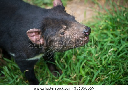 Tasmania devil the iconic animal of Tasmania, Australia. - stock photo
