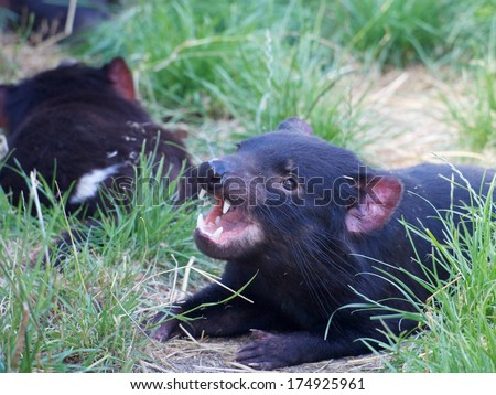 tasmanian devil being very cute showing its teeth - stock photo