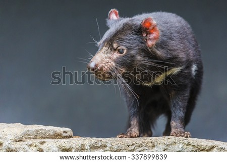Tasmanian devil close up - stock photo