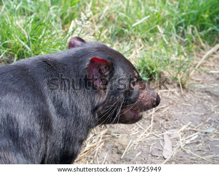 tasmanian devil in tasmania australia waiting for a feed - stock photo