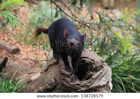Tasmanian devil, little nocturnal Australian animal - stock photo