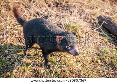 Tasmanian devil looking for food in the green grass - stock photo