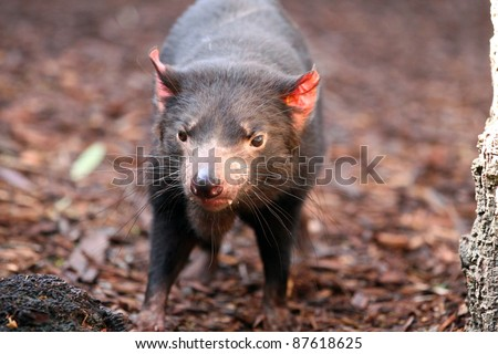 Tasmanian Devil making eye contact - Sarcophilus harrisii - stock photo