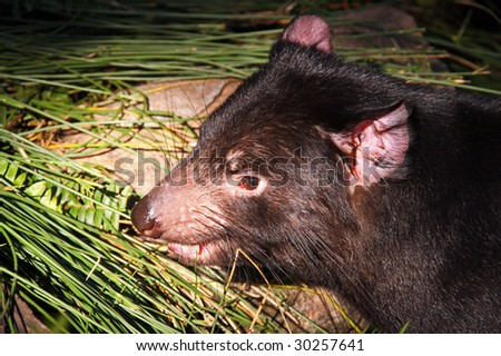 Tasmanian Devil. Nocturnal Australian Animal - stock photo