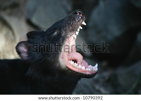 Tasmanian Devil opens wide in Tasmania, South Australia - stock photo