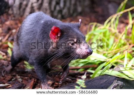 Tasmanian Devil running through vegetation - Shallow Depth of Field - stock photo