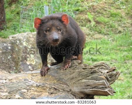 Tasmanian Devil (Sarcophilus harrisii) - stock photo