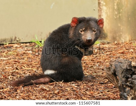 Tasmanian Devil (Sarcophilus harrisii), a native Australian animal. - stock photo