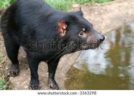 Tasmanian Devil (Sarcophilus harrisii) Near Water - stock photo